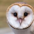 Profilbild von Schleiereule