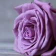 Profilbild von Rose75