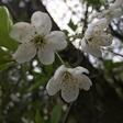 Profilbild von Kirschbluetenpapier